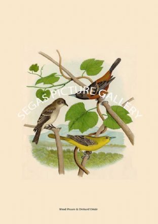 Wood Pewee & Orchard Oriole